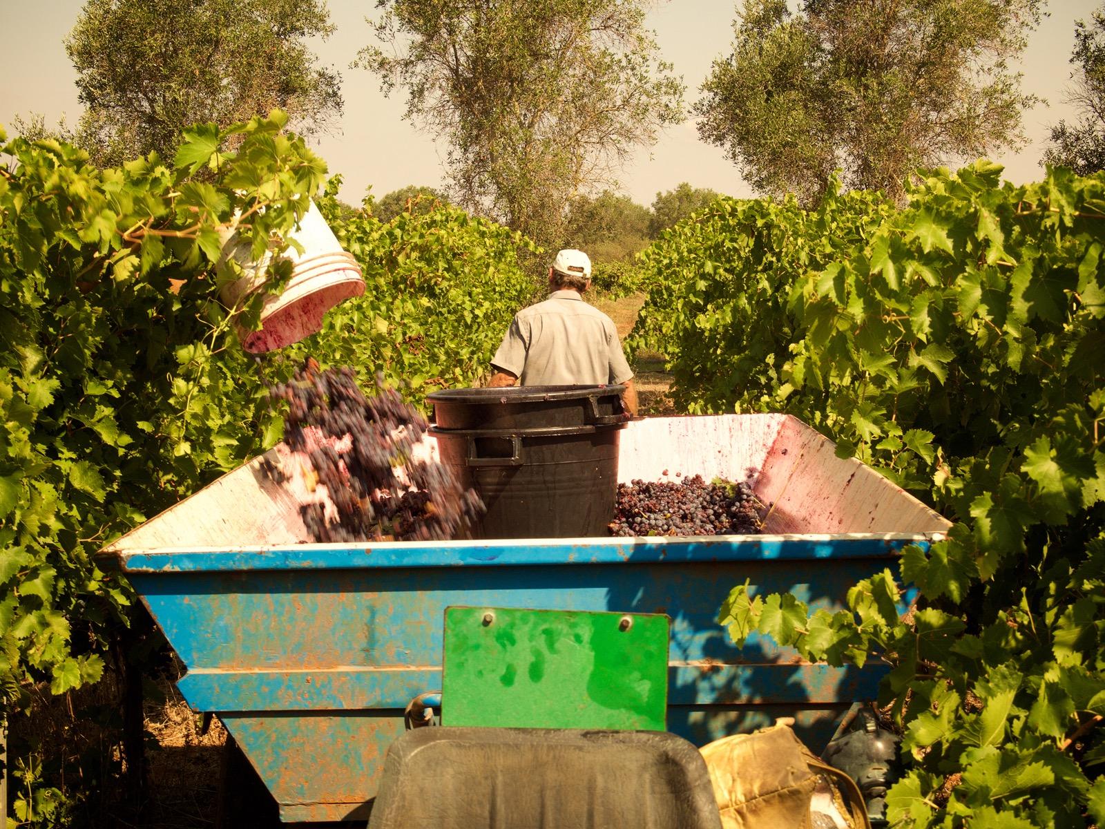 Vendemmia Vinoli 2015 - 15