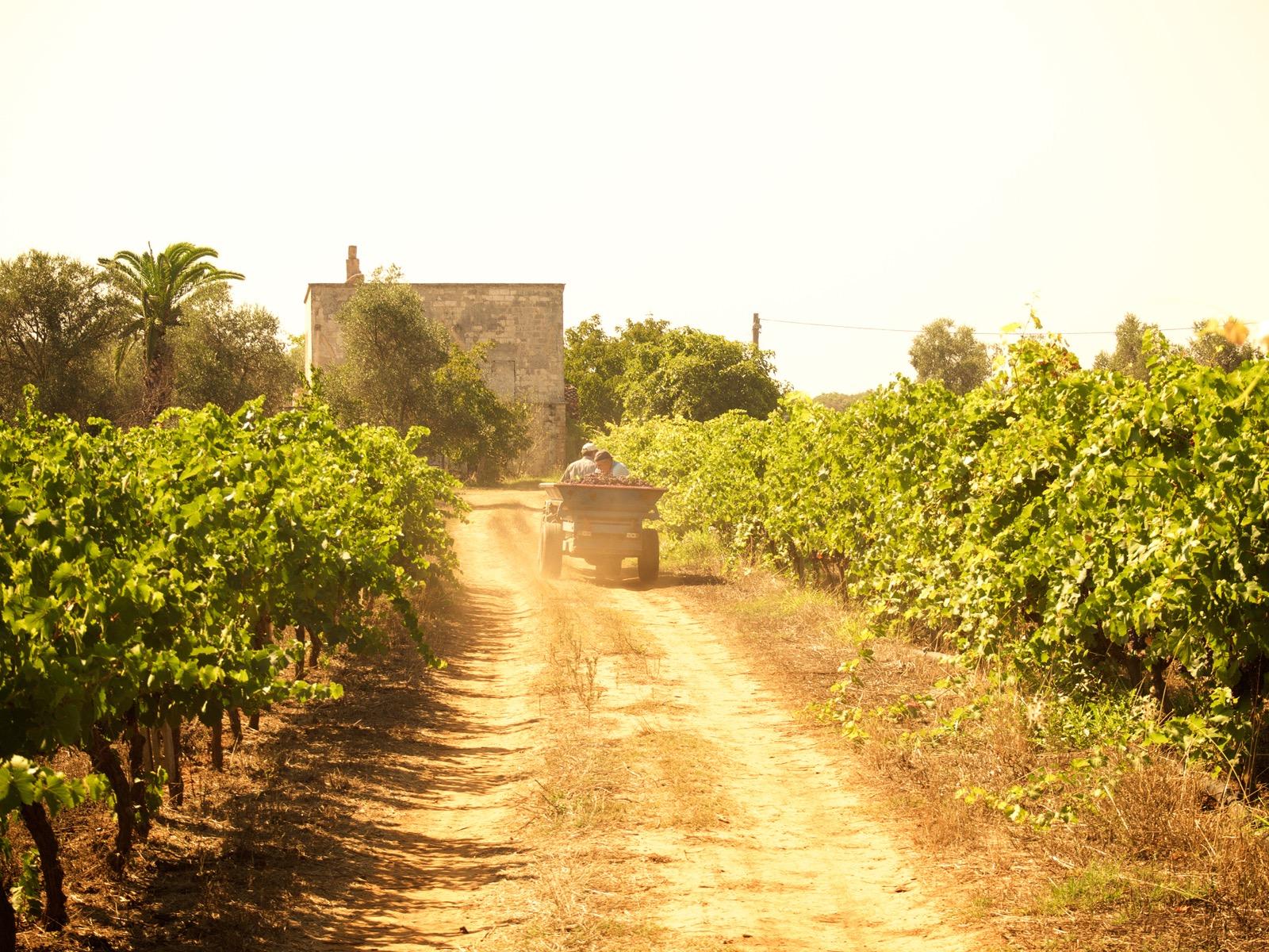 Vendemmia Vinoli 2015 - 18