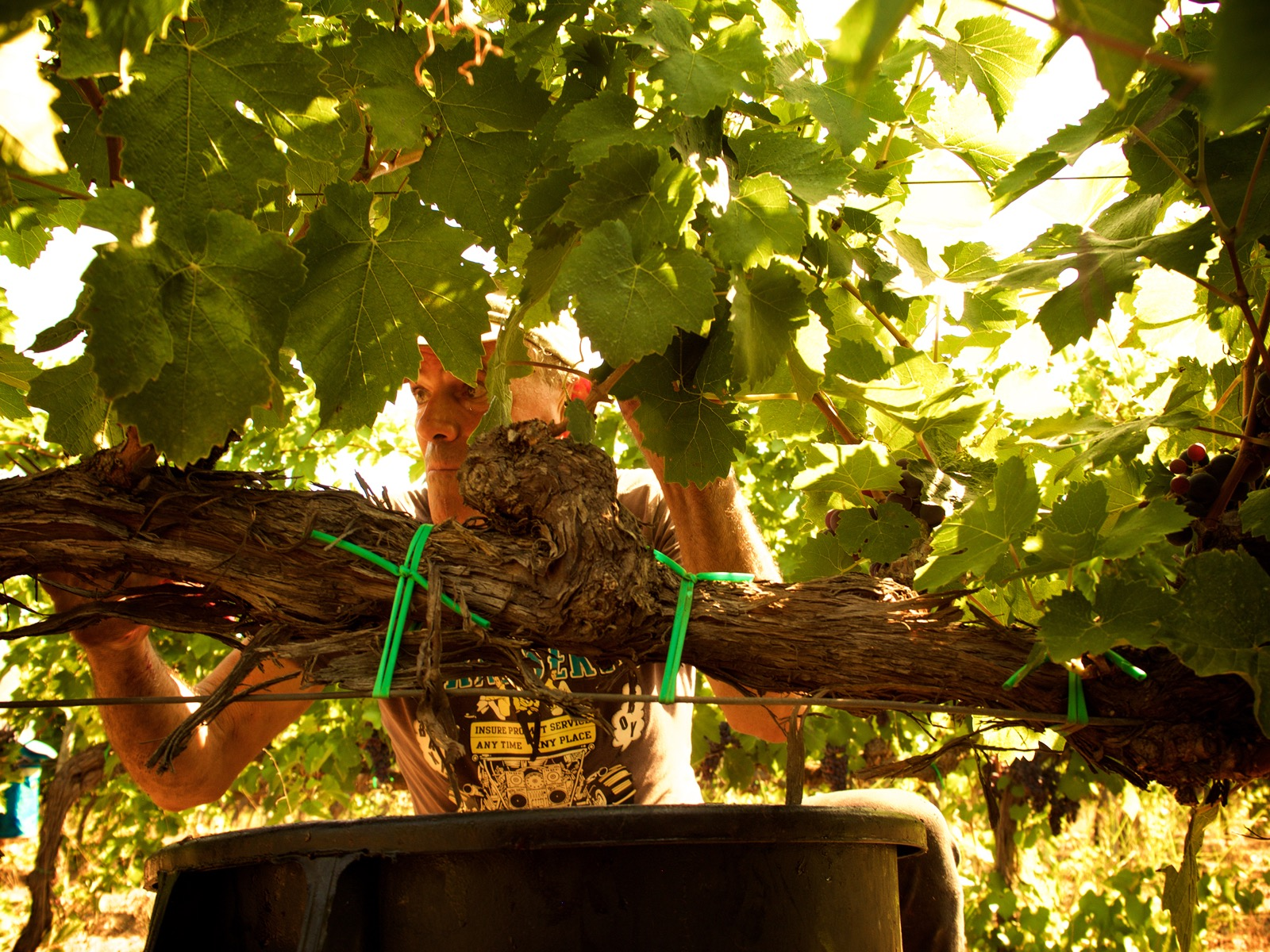 Vendemmia Vinoli 2015 - 8